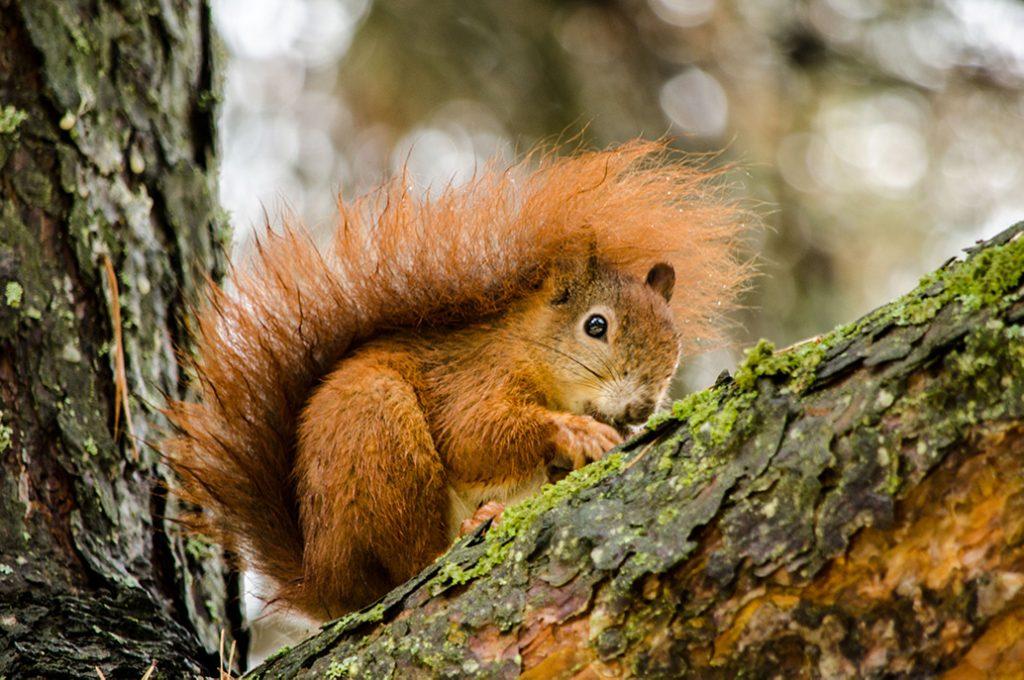 Tierfotografie - Eichhörnchen auf einem Baum