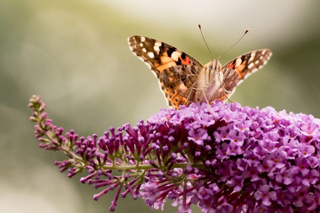 Tierfotografie - Schmetterling
