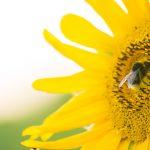 Makrofotografie - Hummel auf Sonnenblume